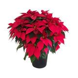 Venta De Plantas De Nochebuena Muy Bonitas