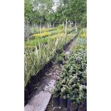 Oferton!! Plantas Para Cerco Cipres Leylandi Pinos Cercos