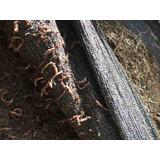 500 Lombrices Rojas Californianas