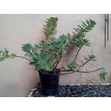 Plantas Para Sol, Terraza Y Canteros Colgantes Pectranthus