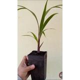 Palmeira Garrafa Muda 50cm - Hyophobes Lagenicaulis
