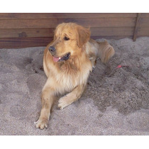 Servicio Golden Retriever, Excelente Ejemplar Con Pedigree