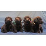 Cachorros Labrador Chocolate Pedigree Internacional