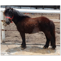 Semental Miniatura Prieto - Frison Mini Pony