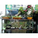 Bonsai, Todas Las Especies, Pino Negro,ficus Tiguerman,olmo