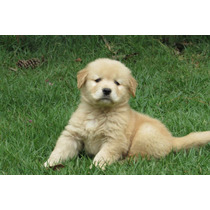 Filhotes Golden Retriever Pedigree Microchip Pronta Entrega