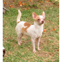 Chihuahua Cabeza De Manzana - Hembra