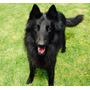 Cachorros Pastor Belga Groenandael Registrados Con Chip