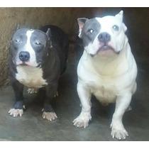 American Staffordshite Terrier, Fêmeas Azul E Branco, 2 Mese