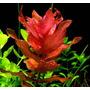 Planta Para Aquario Rotala Macrandra Kits 6 Ramos