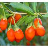 Goji Berry Certificada - Produção De Mudas 1000 Sementes