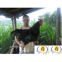 Ovos Galados De Gigante Negro 10 Reais Cada Ovo