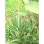 Hermosas Plantas De Aloe Vera