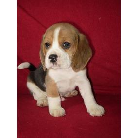 Beagle Cachorros Exelente Pedigree Fca