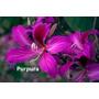 Semillas Arbol Orquideas Bauhinia Mix Jardin Flores Plantas