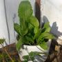 Muda Raiz Forte ,krein(substitui Wabasi)-4 Plantas Por Vaso-