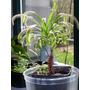 Semillas De Planta Carnivora Drosera Capensis Giant Form