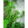 Plantin De Duraznero (semilla). Sin Uso De Agroquimicos