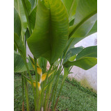 Rizomas Y Plantas De Heliconias