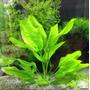 Echinodorus Schlueteri Planta Natural Acuarios Estanques