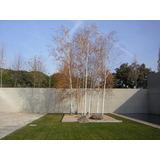 Plantines De Abedul (betula Alba) Ideal Bonsai
