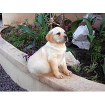 Labrador Amarillo Macho Y Hembra 5 Meses Rockefeller Willsam