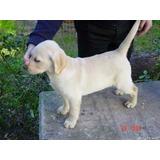 Labrador Cachorros 45 Dias Rockefeller Willsam