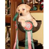 Labrador Amarillos Cachorros De 40 Dias Rockefeller Willsam