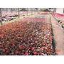 Plantines Florales- Flor De Azúcar Nº12-(10 Uni) $150