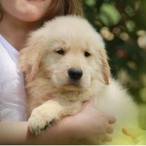 Golden Retriever Cachorros Linea Rockefeller Willsam