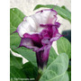 50 Sementes Da Flor Saia-roxa - Planta Exótica