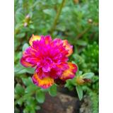 Muda De Onze Horas, Portulaca Grandiflora Cinderela Neon