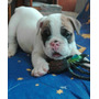 Bulldog Ingles Disponibles En Medellin