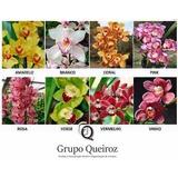 Mudas De Orquídeas Cymbidium Kit C/10 Und