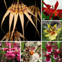 Kit America Central 6 Mudas Orquídeas Variascores Preadultas