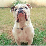 Bulldog Ingles Para La Monta