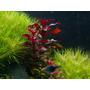 Planta Para Aquario Ludwigia Sp Red