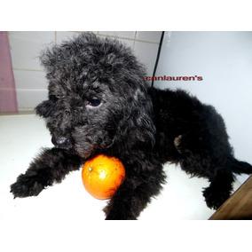 Caniche Toy Machos Negro, Gris,un Año 7 Meses Fotos 24/10,