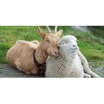 Criação De Ovelhas E Cabras Em Video E Apostilas