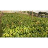Venta De Plantas Forestales En Viveros