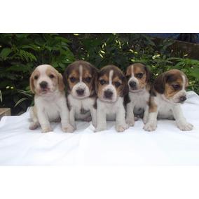 Beagle Tricolor E Bicolor ..fêmea Excelente Linhagem ...