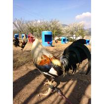 Gallos De Pelea, Aves De Combate