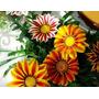 5 Sementes De Gazânia - Frete Grátis-rara-orquídea-muda-rosa