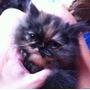 Gatitos Persas Bebes! Pura Raza Colores Exoticos