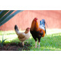 Gallos Pie De Cria Semental Sweater