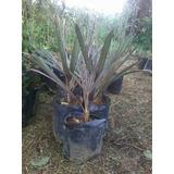 Mudas De Palmeira Azul Bismarckia Nobilis