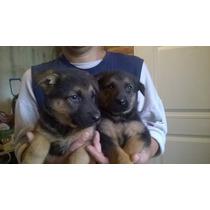 Reserve Cachorros Ovejero Aleman Garantía X 1 Año Padres Poa