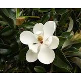 Magnolia Grandiflora De 80 Cms. Despacho Y Embalaje Gratis