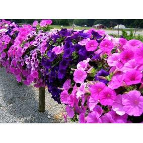900 Sementes Flor Petúnia Multiflora Anã Sortida Fretegrátis