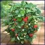 300 Sementes De Morango (pode Ser Plantado Em Vasos)+ Brinde